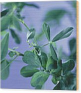 Alfalfa (medicago Sativa) Wood Print