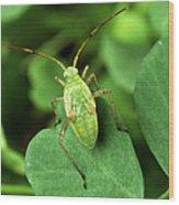 Alfalfa Plant Bug Wood Print