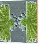 Algae Binary Fission Wood Print by M. I. Walker