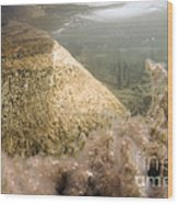 Algae In A Frozen Pond Wood Print by Ted Kinsman