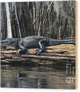 Alligator Sunning Wood Print