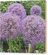 Allium Flower (allium Sp.) Wood Print