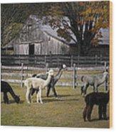 Alpacas In Vermont Wood Print