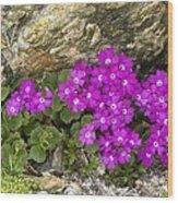 Alpine Primula (primula Hirsuta) Wood Print