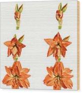 Amaryllis Blooming Wood Print