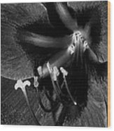 Amaryllis Flower In Black And White Wood Print