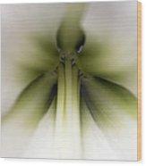 Amaryllis Hippeastrum Sp Flower Wood Print