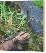 American Alligators Wood Print