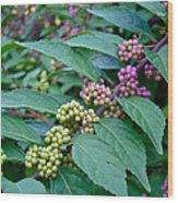 American Beautyberry Shrub - Callicarpa Americana Wood Print