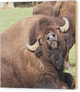 American Bison - Buffalo - 0014 Wood Print