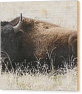 American Bison 2 Wood Print