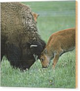 American Bison Cow And Calf Wood Print