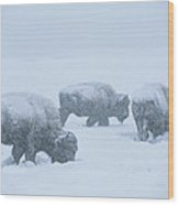 American Bison Graze During A Snowstorm Wood Print by Tom Murphy