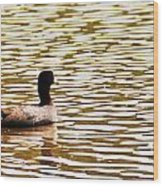 American Coot Floating By Wood Print
