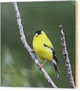 American Goldfinch - Single Male Wood Print