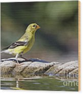 American Goldfinch Wood Print
