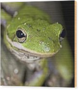 American Green Treefrog Wood Print by Clay Coleman
