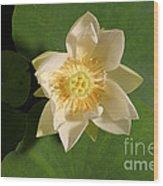 American Lotus Nelumbo Lutea Opening Wood Print