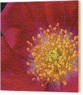 American Pillar Climbing Rose Wood Print