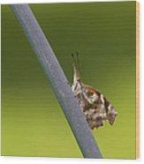 American Snout Butterfly - Libytheana Carinenta Wood Print