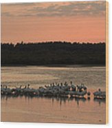 American White Pelicans At Sunset Wood Print