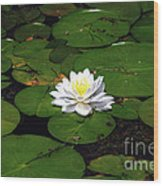 American White Waterlily Wood Print