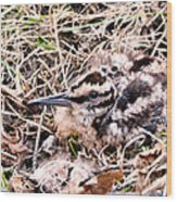 American Woodcock Chick No. 2 Wood Print