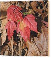 Amur Maple Seedling Wood Print