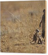 An Adult Meerkat Stands Guard Over Two Wood Print
