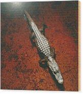An Alligator Walks On The Muddy Bottom Wood Print