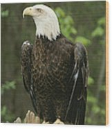 An American Bald Eagle Perches Atop Wood Print