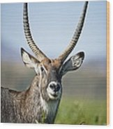 An Antelope Standing Amongst Tall Wood Print