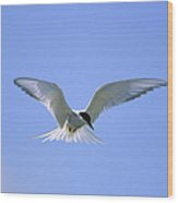 An Arctic Tern Hovers In Wood Print