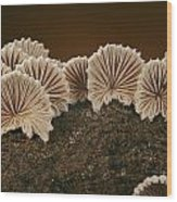An Array Of Common Split Gill Mushrooms Wood Print by Darlyne A. Murawski