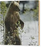 An Brown Bear Ursus Arctos Runs Wood Print
