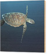 An Endangered Green Sea Turtle Swimming Wood Print