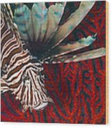 An Invasive Indo-pacific Lionfish Wood Print