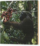 An Orangutan Gorges Himself Wood Print