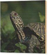 An Ornate Box Turtle Surveys Wood Print