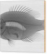 An X-ray Of A Rockbass Wood Print
