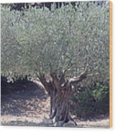 Ancient Old Olive Tree In South France Wood Print