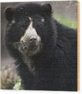 Andean Or Spectacled Bear, Tremarctos Wood Print
