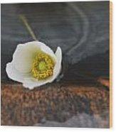 Anemone Alone  Wood Print