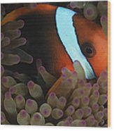 Anemonefish In Purple Tip Anemone Wood Print