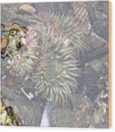 Anemones And Shells Wood Print