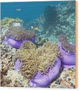Anemones With Anemonefish Wood Print