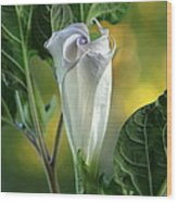 Angel's Trumpet Bud Wood Print