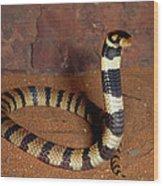 Angolan Coral Snake Defensive Display Wood Print