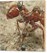Ant Dorymyrmex Sp Workers Climbing Wood Print