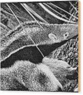 Ant Eater Wood Print
